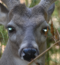 Can Deer See Infrared Light